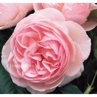 Французская роза Остин 12шт.