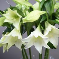 Лилия белая 19 штук