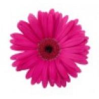 Гермини розовые (15 шт.)