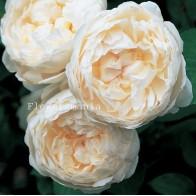 Французская роза Остин (крем) 12 шт.