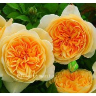 Французская роза Остин (жел) 12 шт.