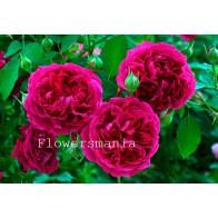 Французская роза Остин (фук) 12 шт.