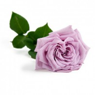 Сиреневая роза Армандо (19 шт.)