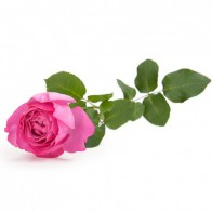 Французская роза Ив Пьяже 12 шт.