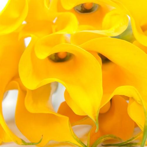 Фото одного цветка желтой каллы