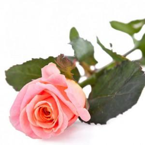 Роза «Мисс Пигги» (25 шт.)
