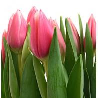 Тюльпан розовый (цел) (39 шт.)
