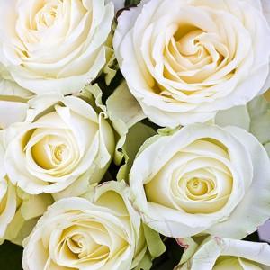 Роза белая (25 шт.)