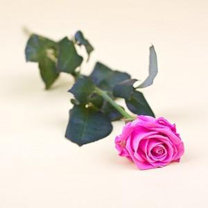 Роза розовая (25 шт.)