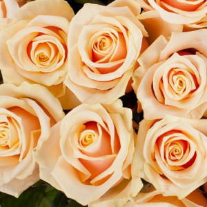 Букет «Крем» (51 роза)