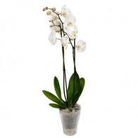 Орхидея Фаленопсис белый 2 ветки