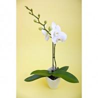 Орхидея Фаленопсис белый