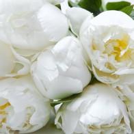 Пионы белые (9 шт.)