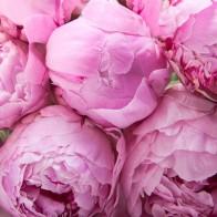 Пионы розовые (9 шт.)