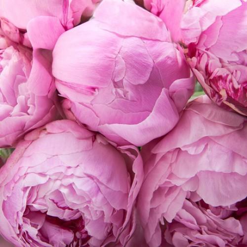 Приснился розовый пион