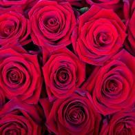 Роза Гран При (25 шт.)