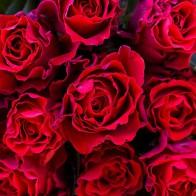 Роза красная 50 см (19 шт.)