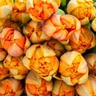 Тюльпан Orange Princess (39 шт.)