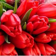 Тюльпан красный (39 шт.)