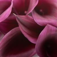 Калла цвета баклажан (9 шт.)