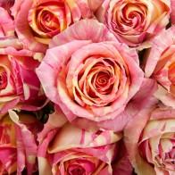 Роза Фиеста (29 шт.)
