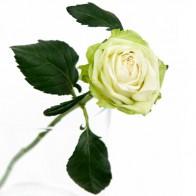 Французская роза Грин Романтика 12 шт.