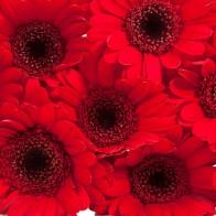 Гермини красная (15 шт.)