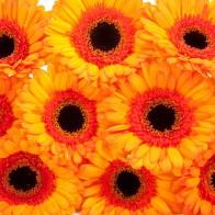 Гермини оранжевая (15 шт.)