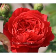 Французская роза Остин (кр.) 12 шт.