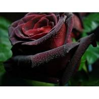 Бордовые розы на похороны