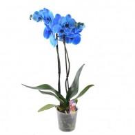 """Орхидея """"Blue"""""""
